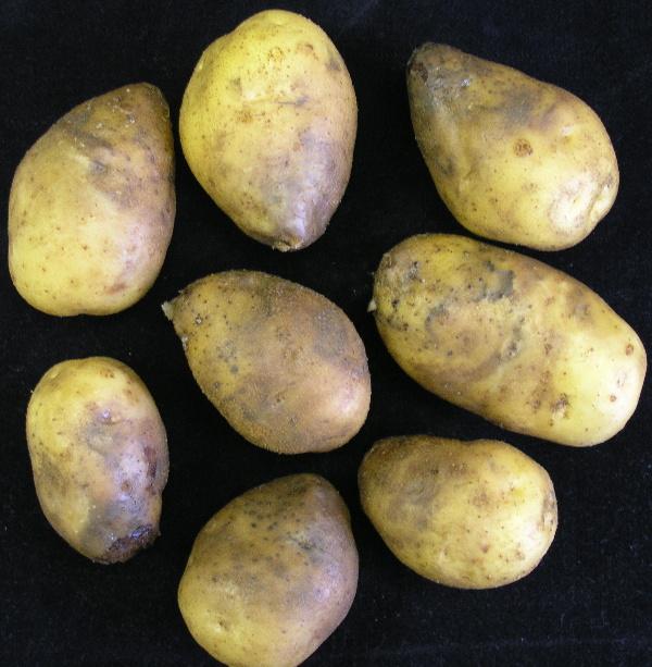 Hlízy napadené plísní bramboru