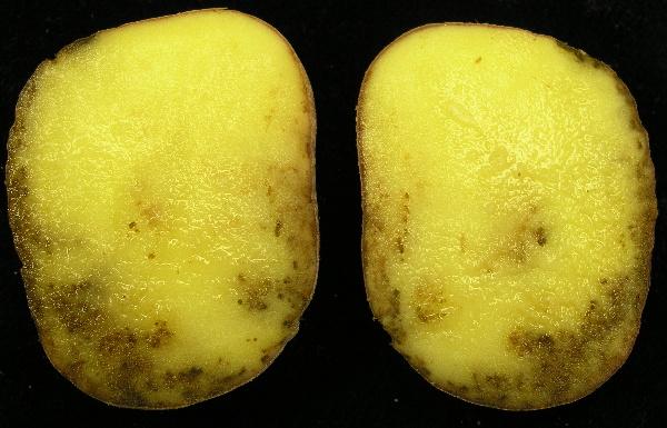 Příznaky plísně bramboru na řezu hlízou