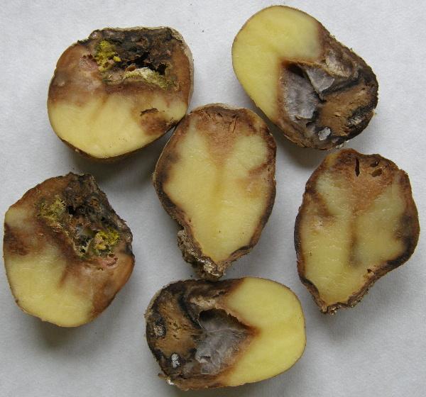 Směsná infekce fuzárii aplísně bramboru