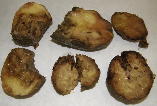 Směsná infekce plísně bramboru abaktérií