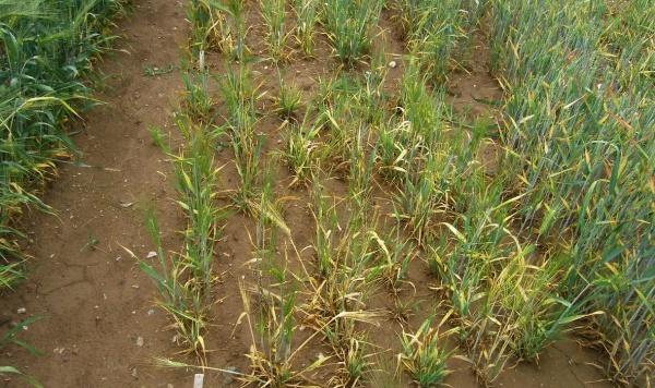Virová zakrslost pšenice