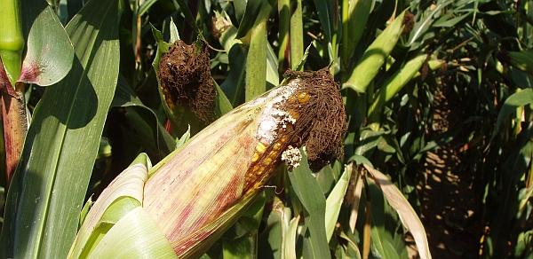 Napadení palice kukuřice houbovými patogeny - Fusarium