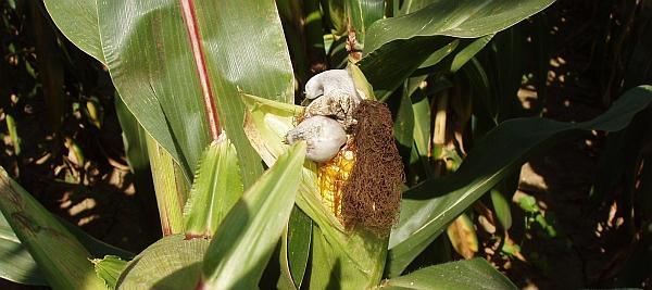 Boulovitý nádor obecné snětivosti kukuřice