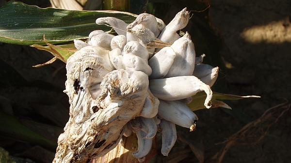 Nádor až velikosti pěsti obecné snětivosti kukuřice