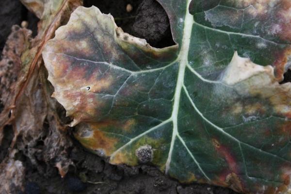 Fomové černání stonků řepky na listech 27. 2. 2014 (© Ing. Eva Plachká, Ph.D)