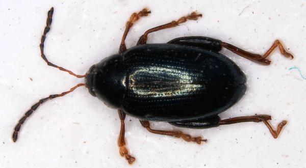 Obr. 1: Dospělec dřepčíka olejkového (P. chrysocephala)