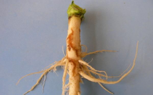 Obr. 4a: Kořen poškozený larvou květilky zelné (<i>D. radicum</i>); slabé poškození