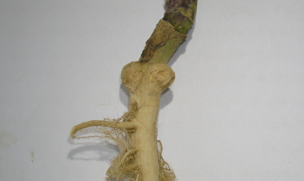 Obr. 5a: Hálky na hlavním kořeni vyvolané přítomností larev krytonosce zelného (<i>C. pleurostigma</i>)