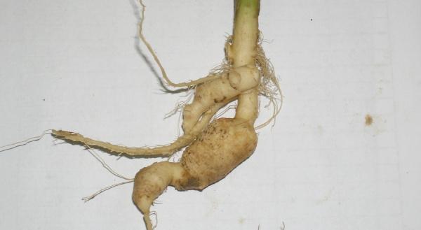 Obr. 5c: Nádory vyvolané <i>Plasmodiophora brassicae</i> na kořenu řepky