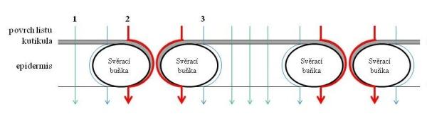 Schéma 1: Přechod látek aplikovaných na list: 1 - přechod přes kutikulu, 2 - přechod přes stomata, 3 - přechod přes peristomatální kutikulu kolem stomatální buňky (Eichert, Fernández 2012)