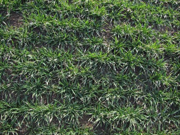 Ozimá pšenice - odrůda Federer