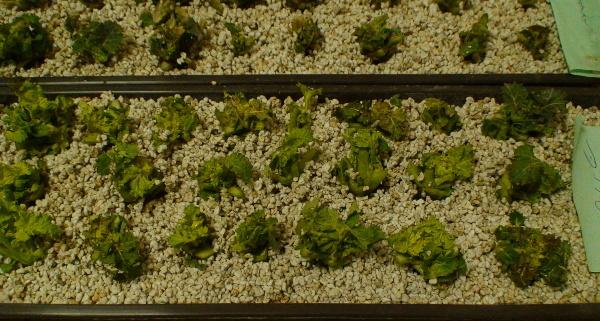 Test životaschopnosti rostlin řepky