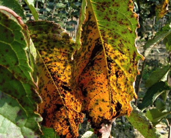 Skvrnitost listů třešně
