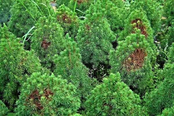 Picea glauca var. conica poškozená sviluškami