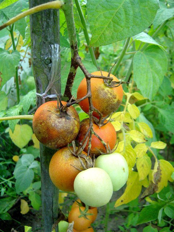 Plíseň rajčatová