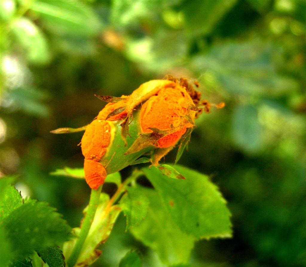 Rez růžová